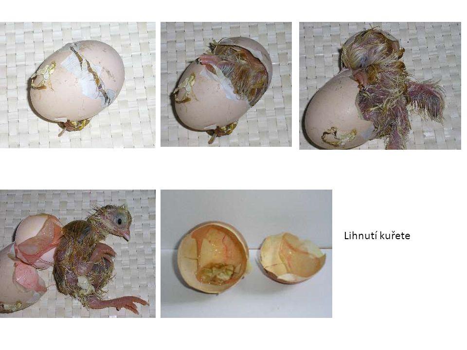 Lihnutí kuřete