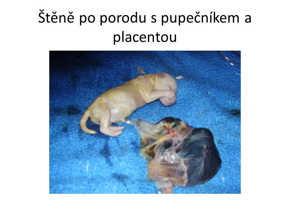 Štěně po porodu s pupečníkem a placentou
