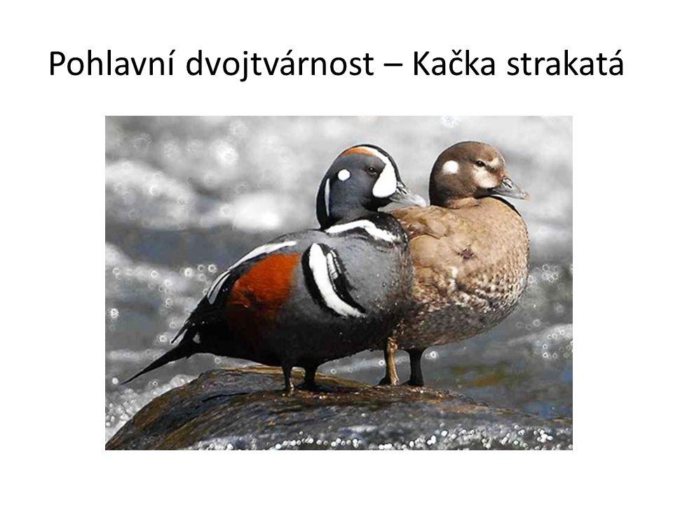 Pohlavní dvojtvárnost – Kačka strakatá