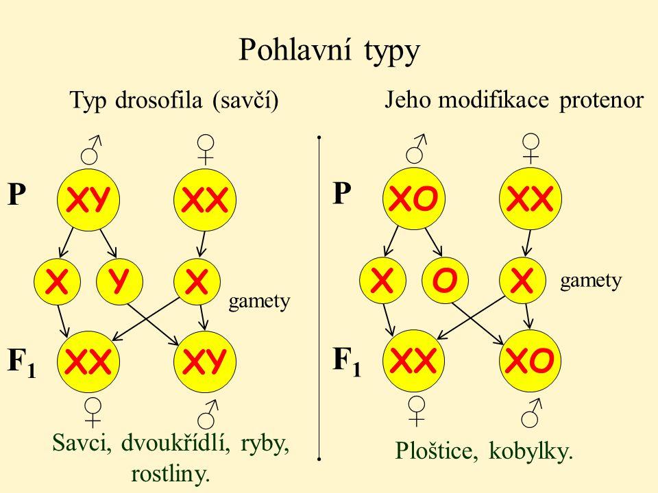♂ Pohlavní typy Typ drosofila (savčí) XY XX X gamety P Y X ♂ ♀ ♀ XX XY Jeho modifikace protenor F1F1 Savci, dvoukřídlí, ryby, rostliny. XO XX X P O X