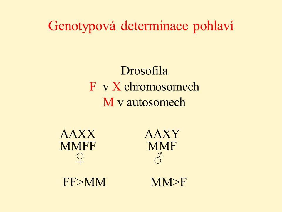 Genotypová determinace pohlaví Drosofila F v X chromosomech M v autosomech AAXX AAXY MMFF MMF ♀ ♂ FF>MM MM>F