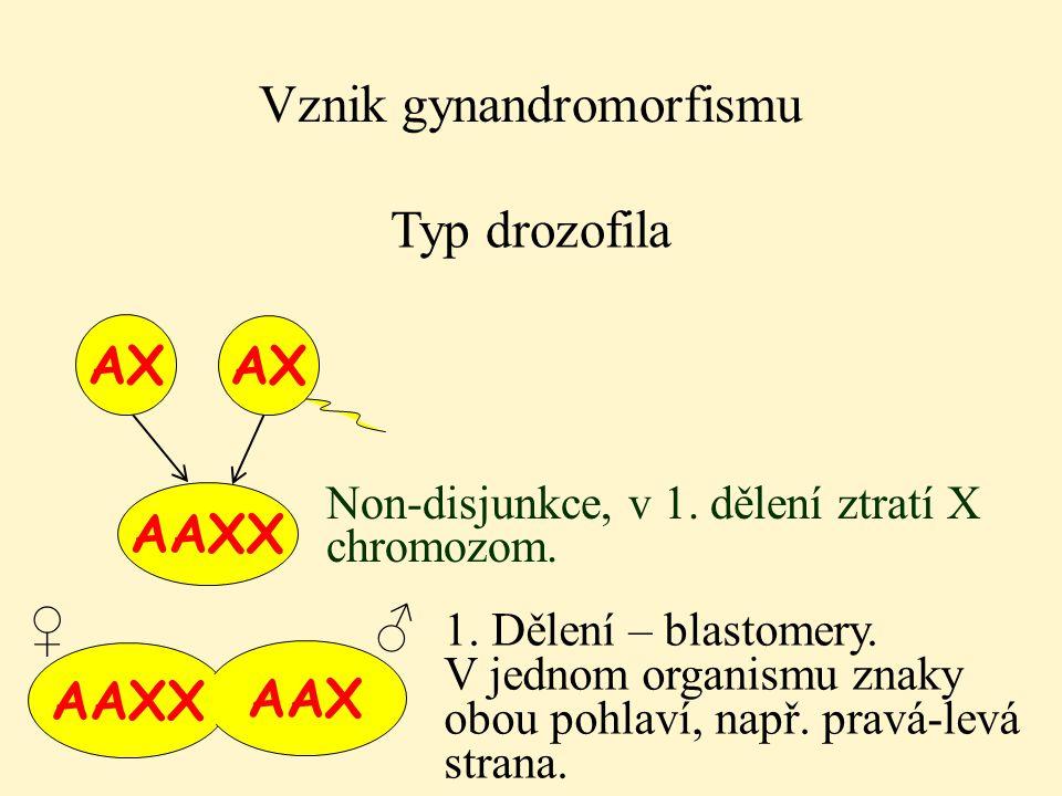 AAXX AAX Vznik gynandromorfismu Typ drozofila AX AAXX AX Non-disjunkce, v 1. dělení ztratí X chromozom. 1. Dělení – blastomery. V jednom organismu zna