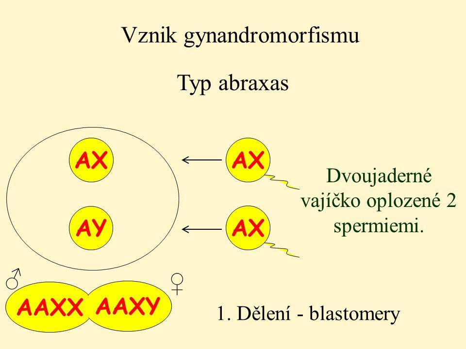AAXX AAXY Vznik gynandromorfismu Typ abraxas AX Dvoujaderné vajíčko oplozené 2 spermiemi. 1. Dělení - blastomery AY AX ♀ ♂