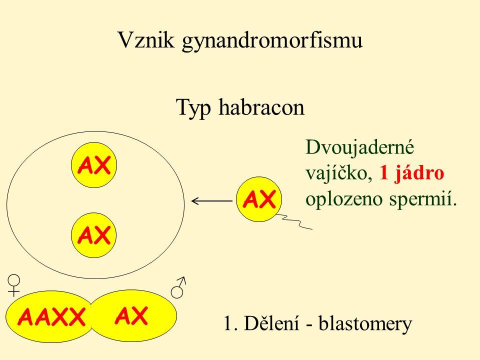 AAXX AX Vznik gynandromorfismu Typ habracon AX Dvoujaderné vajíčko, 1 jádro oplozeno spermií. 1. Dělení - blastomery AX ♂ ♀