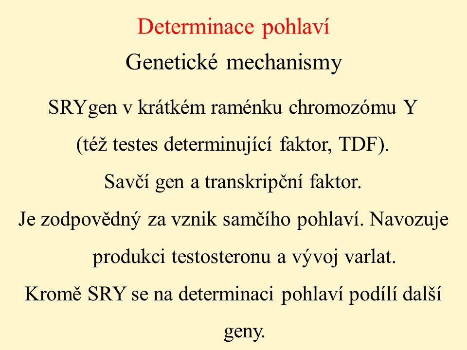 Determinace pohlaví Genetické mechanismy SRYgen v krátkém raménku chromozómu Y (též testes determinující faktor, TDF). Savčí gen a transkripční faktor