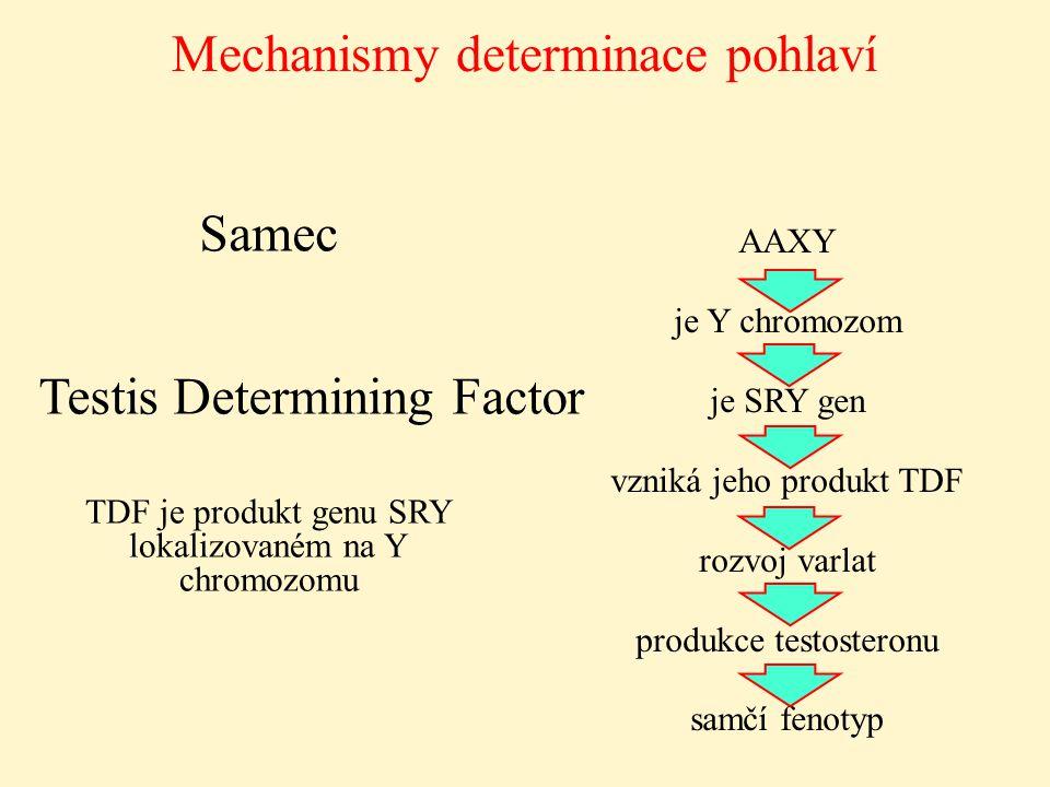 AAXY je Y chromozom je SRY gen vzniká jeho produkt TDF rozvoj varlat produkce testosteronu samčí fenotyp Mechanismy determinace pohlaví Samec Testis D