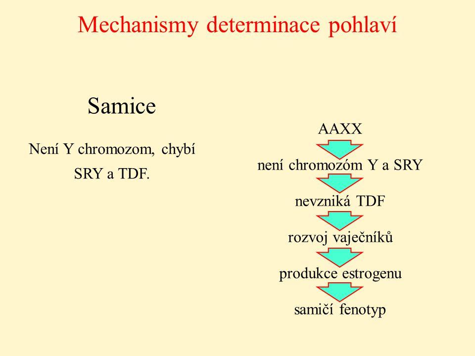 Mechanismy determinace pohlaví Samice Není Y chromozom, chybí SRY a TDF. AAXX není chromozóm Y a SRY nevzniká TDF rozvoj vaječníků produkce estrogenu