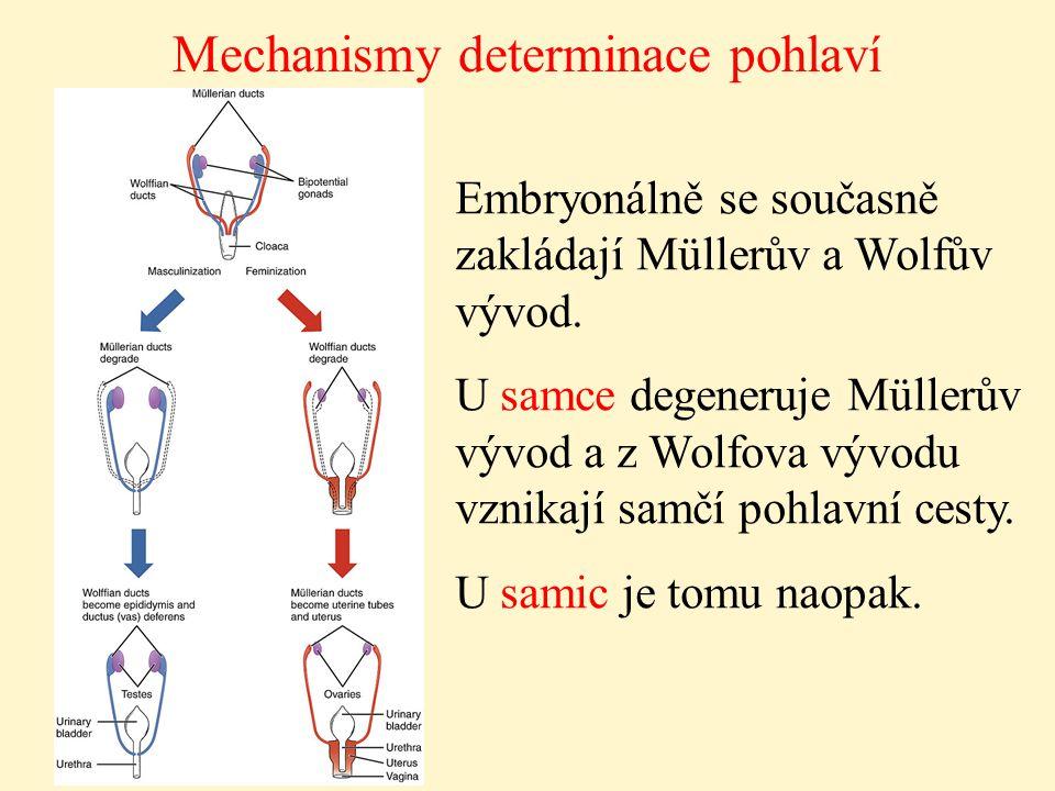 Mechanismy determinace pohlaví Embryonálně se současně zakládají Müllerův a Wolfův vývod. U samce degeneruje Müllerův vývod a z Wolfova vývodu vznikaj