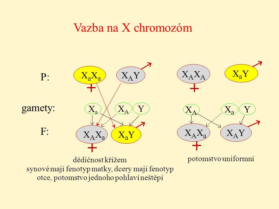 dědičnost křížem synové mají fenotyp matky, dcery mají fenotyp otce, potomstvo jednoho pohlaví neštěpí Vazba na X chromozóm XaXa XAXA Y XaXaXaXa XAYXA