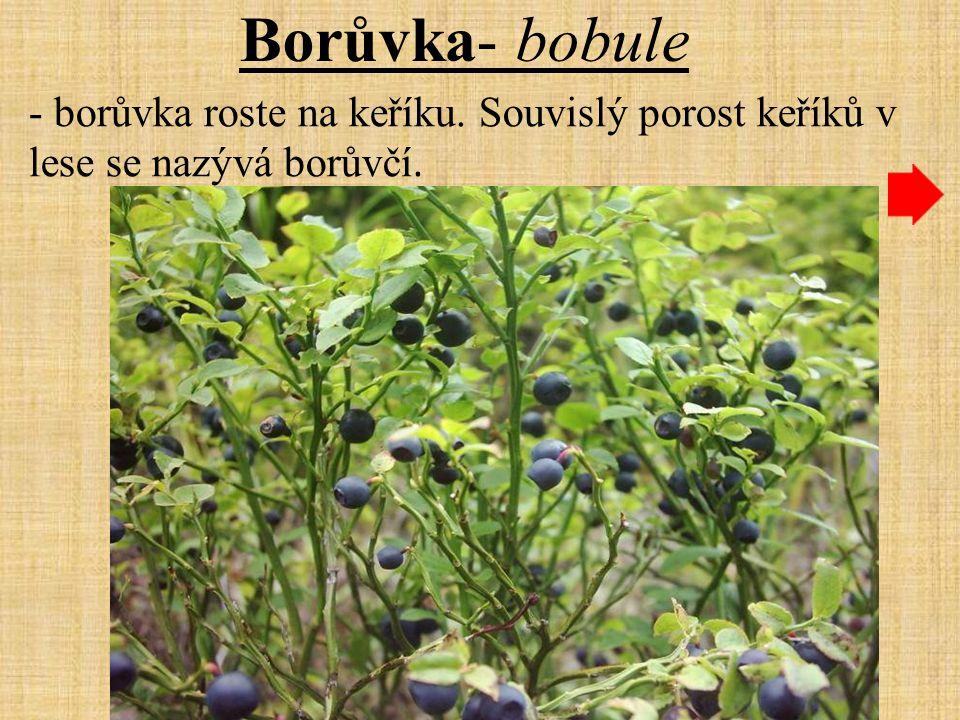 Borůvka- bobule - borůvka roste na keříku. Souvislý porost keříků v lese se nazývá borůvčí.