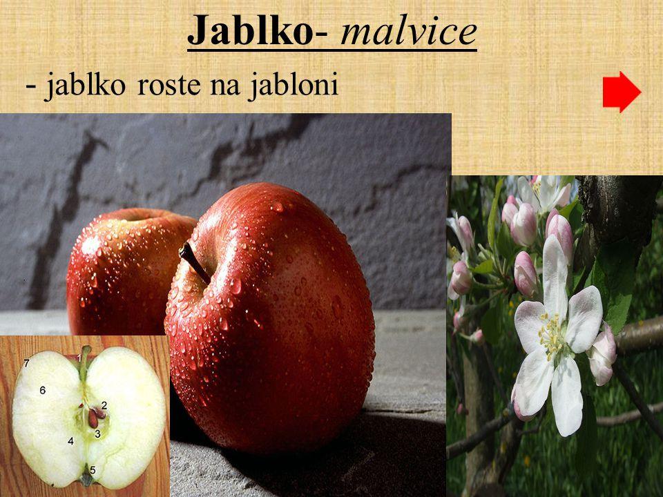 Jablko- malvice - jablko roste na jabloni