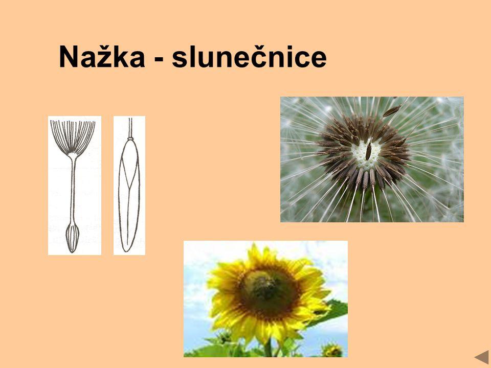 Nažka - slunečnice