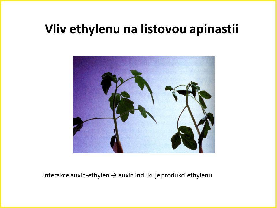 Vliv ethylenu na listovou apinastii Interakce auxin-ethylen → auxin indukuje produkci ethylenu