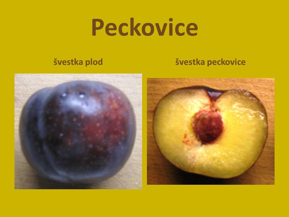 Peckovice švestka plodšvestka peckovice