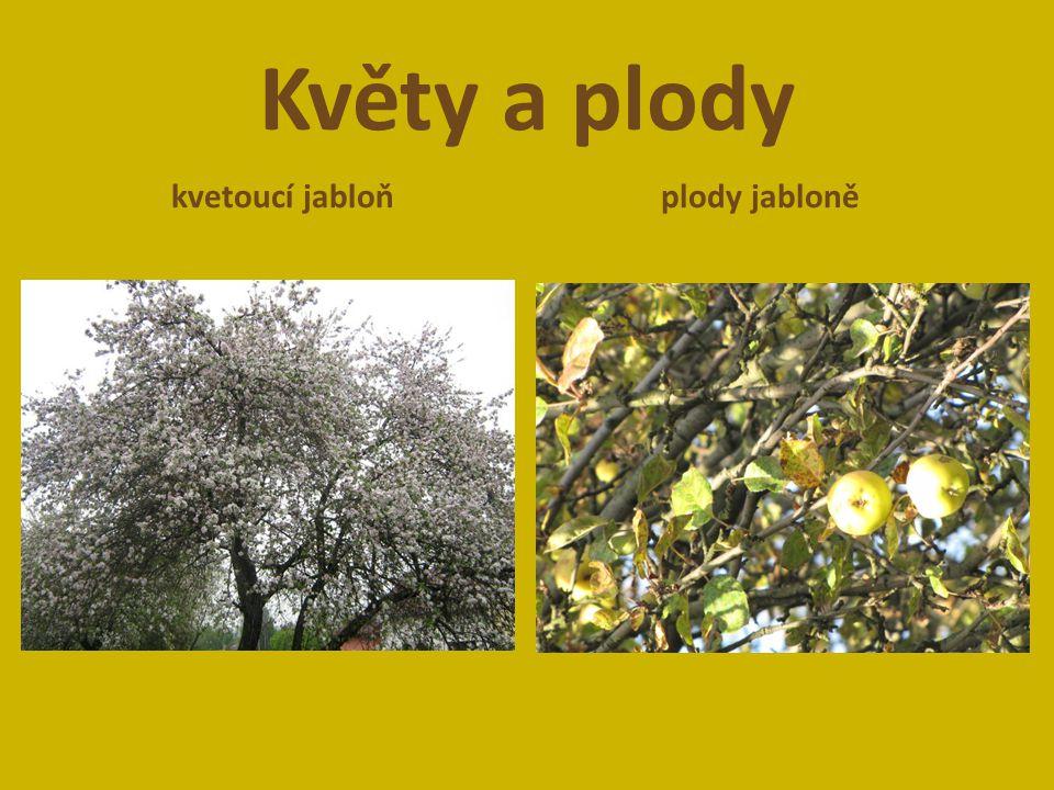 Květy a plody kvetoucí jabloňplody jabloně