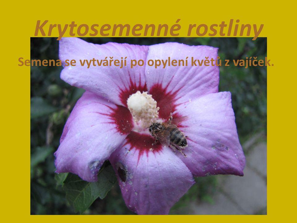 Krytosemenné rostliny Semena se vytvářejí po opylení květů z vajíček.