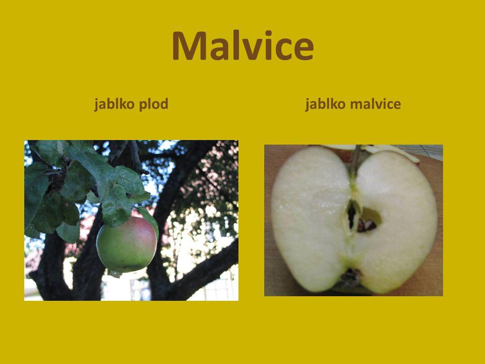 Malvice jablko plodjablko malvice