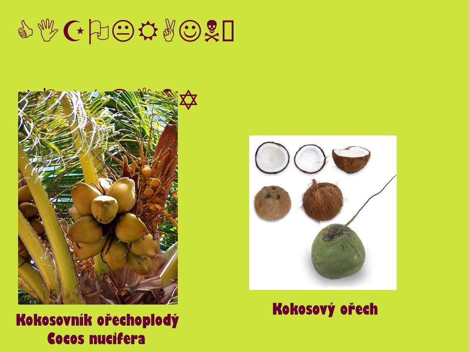 CIZOKRAJNÉ ROSTLINY Kokosovník ořechoplodý Cocos nucifera Kokosový ořech