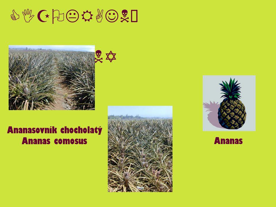 CIZOKRAJNÉ ROSTLINY Ananasovník chocholatý Ananas comosus Ananas