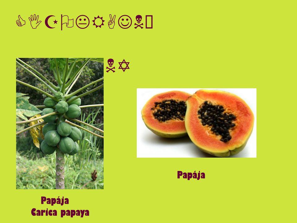 CIZOKRAJNÉ ROSTLINY Papája Carica papaya Papája
