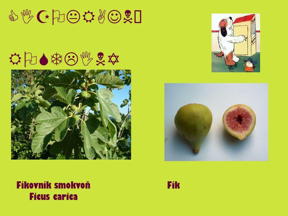 CIZOKRAJNÉ ROSTLINY Fíkovník smokvoň Ficus carica Fík