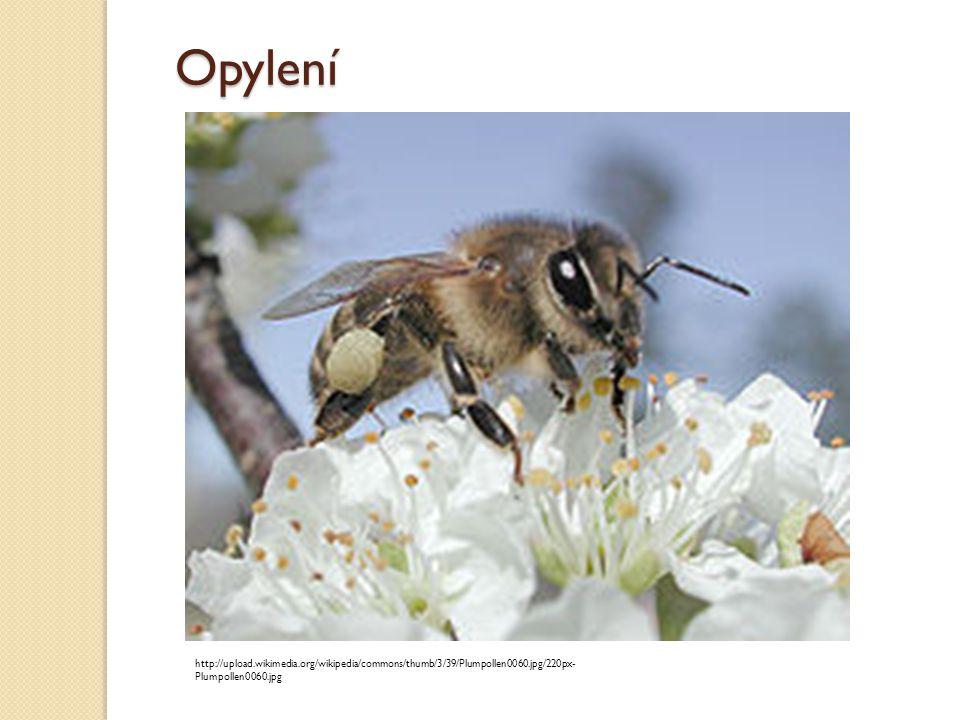 Opylení http://upload.wikimedia.org/wikipedia/commons/thumb/3/39/Plumpollen0060.jpg/220px- Plumpollen0060.jpg
