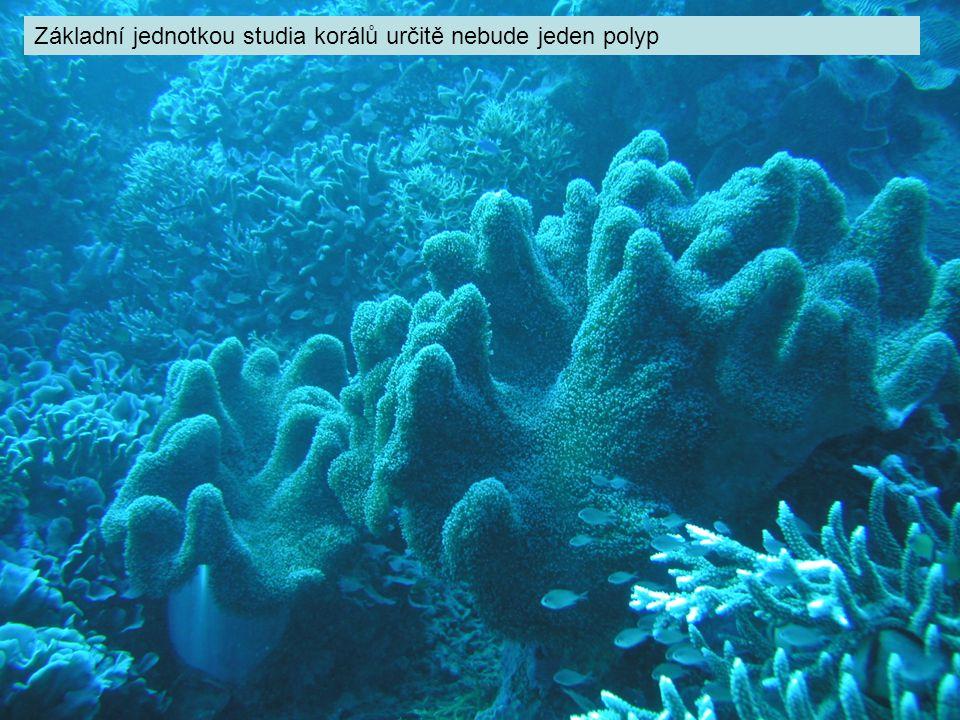 Základní jednotkou studia korálů určitě nebude jeden polyp