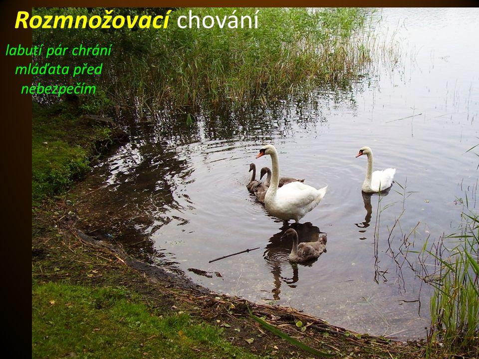 Autorem materiálu a všech jeho částí, není-li uvedeno jinak, je Mgr. Monika Chudárková Rozmnožovací chování labutí pár chrání mláďata před nebezpečím