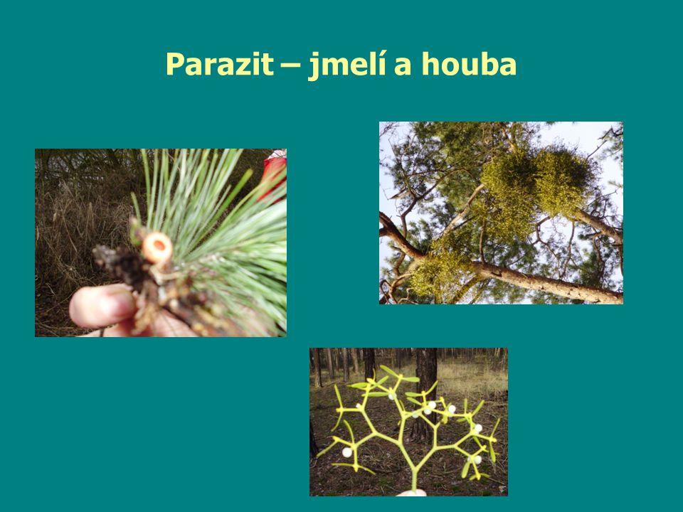 Parazit – jmelí a houba