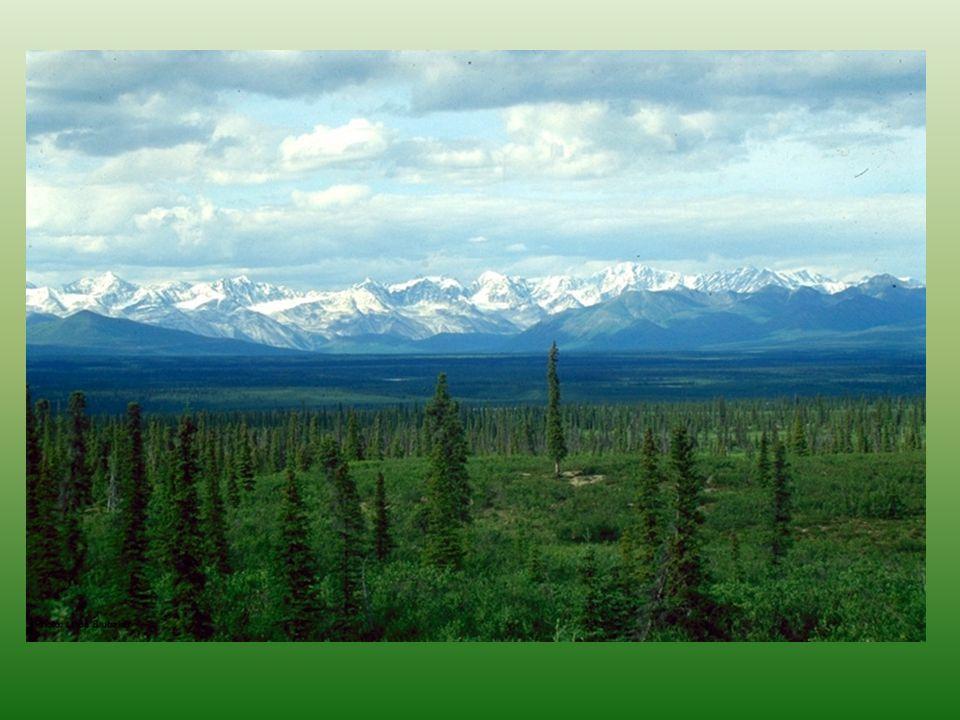 Boreální jehličnaté lesy – tajga Půdy podzoly se surovým humusem rozklad biomasy pomalý v důsledků chladných zim, nízkého Ph, často zamokřen živiny jsou vázány v odumřelé biomase, která může tvořit až 2/3 veškeré organické hmoty a je jich tedy nedostatek permafrost, je 1,5 m hluboko