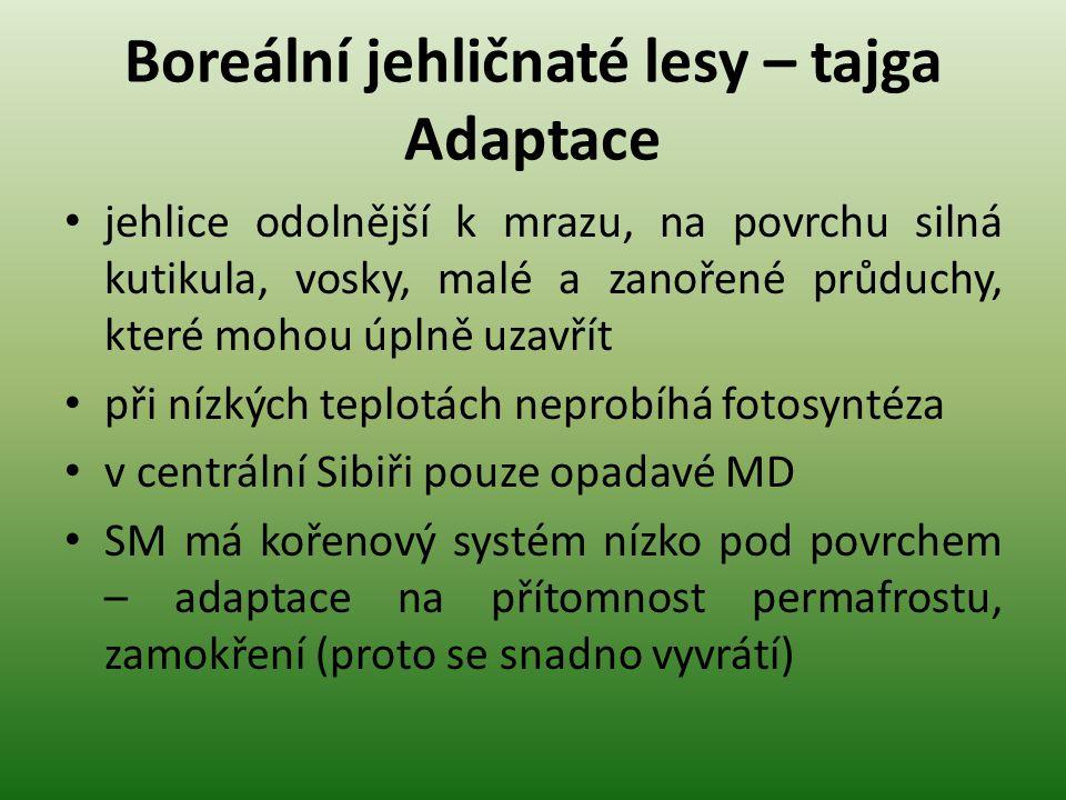 Boreální jehličnaté lesy – tajga Adaptace jehlice odolnější k mrazu, na povrchu silná kutikula, vosky, malé a zanořené průduchy, které mohou úplně uzavřít při nízkých teplotách neprobíhá fotosyntéza v centrální Sibiři pouze opadavé MD SM má kořenový systém nízko pod povrchem – adaptace na přítomnost permafrostu, zamokření (proto se snadno vyvrátí)