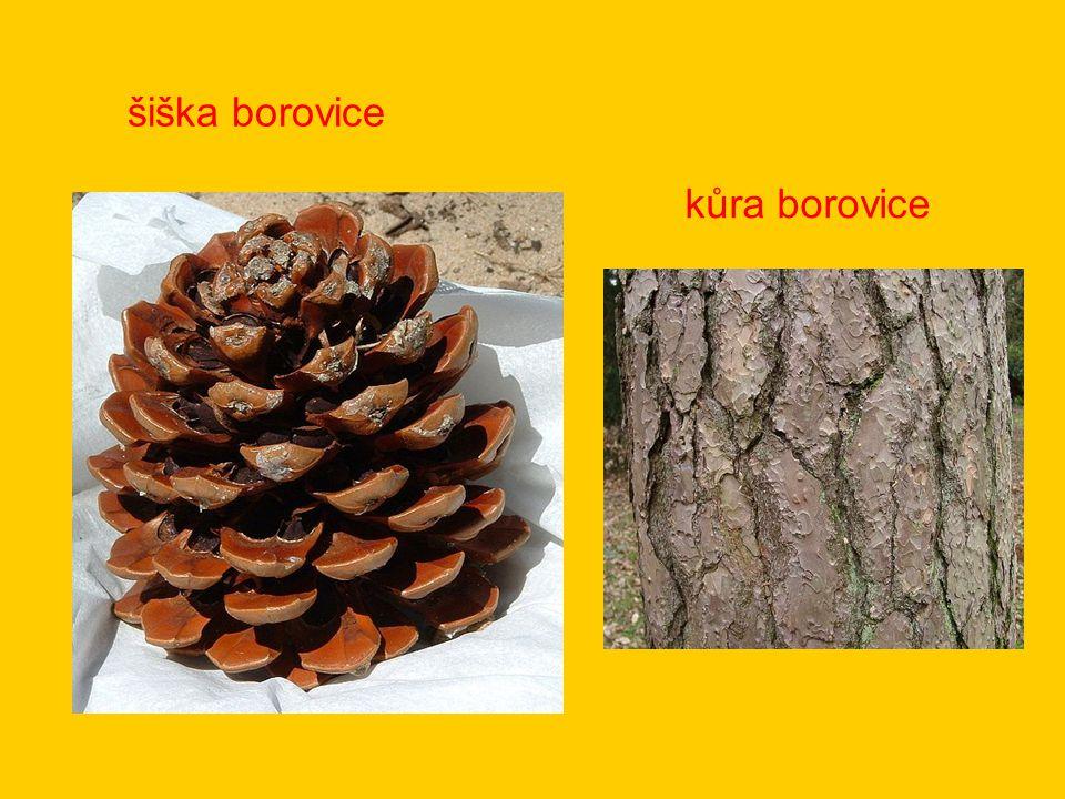 kůra borovice šiška borovice