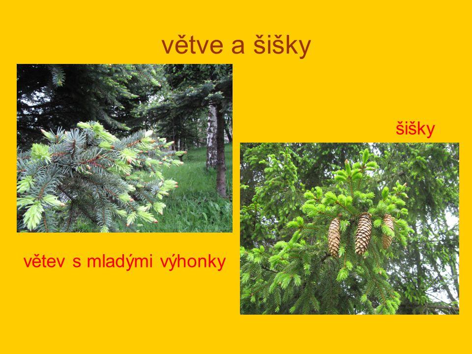 větve a šišky větev s mladými výhonky šišky