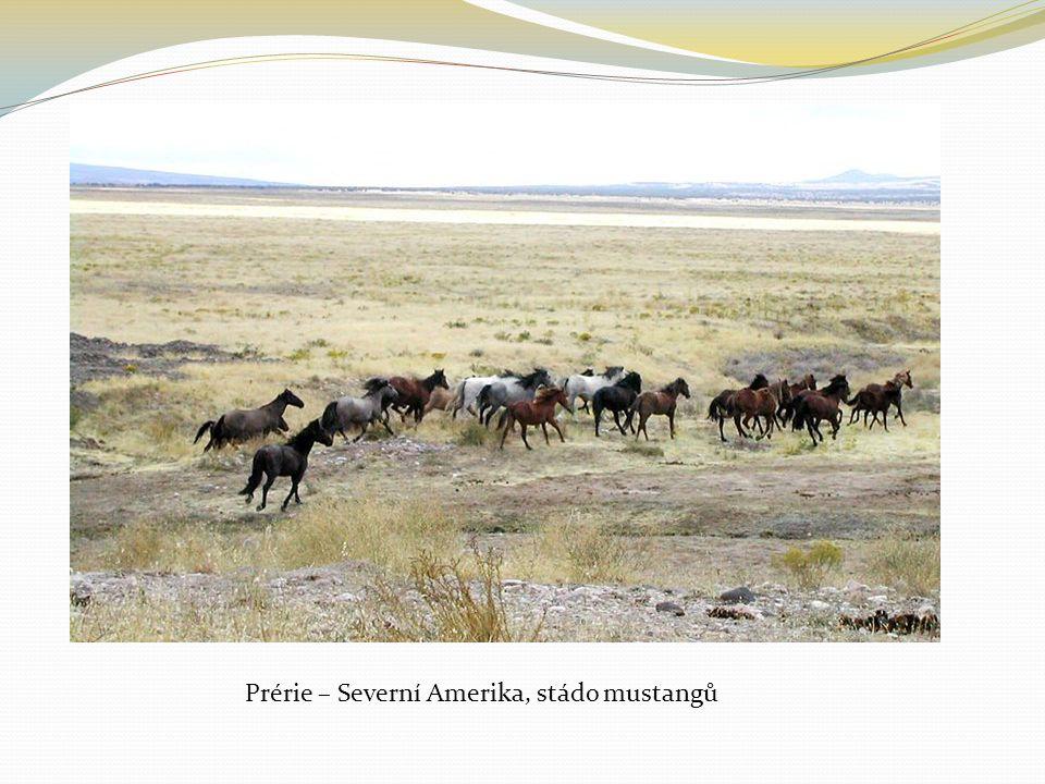 Prérie – Severní Amerika, stádo mustangů