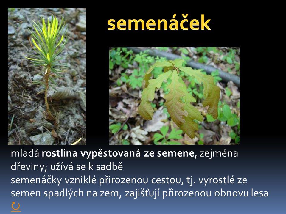 mladá rostlina vypěstovaná ze semene, zejména dřeviny; užívá se k sadbě semenáčky vzniklé přirozenou cestou, tj. vyrostlé ze semen spadlých na zem, za