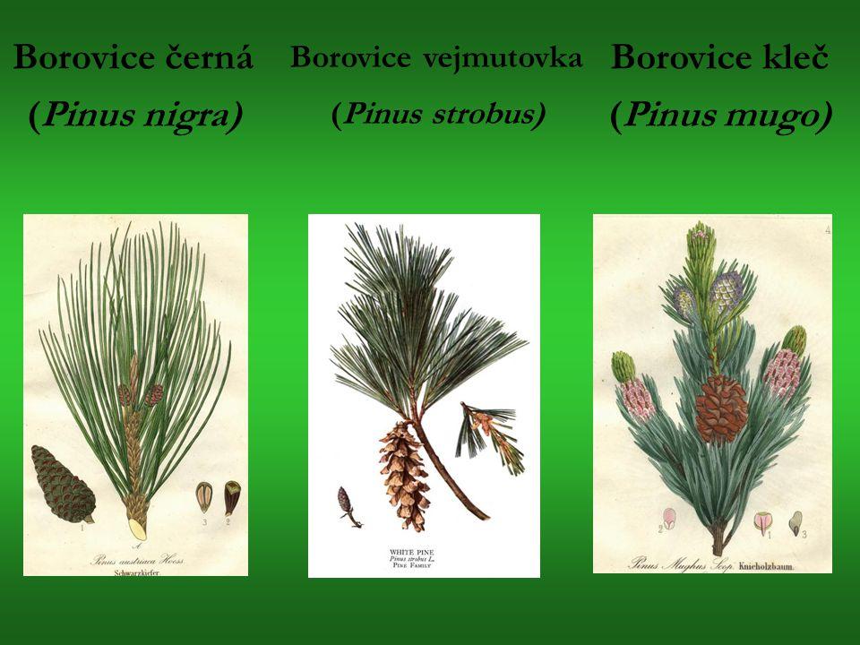 Borovice černá (Pinus nigra) Borovice vejmutovka (Pinus strobus) Borovice kleč (Pinus mugo)