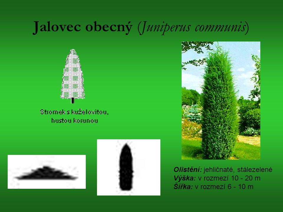 Jalovec obecný (Juniperus communis) Olistění: jehličnaté, stálezelené Výška: v rozmezí 10 - 20 m Šířka: v rozmezí 6 - 10 m
