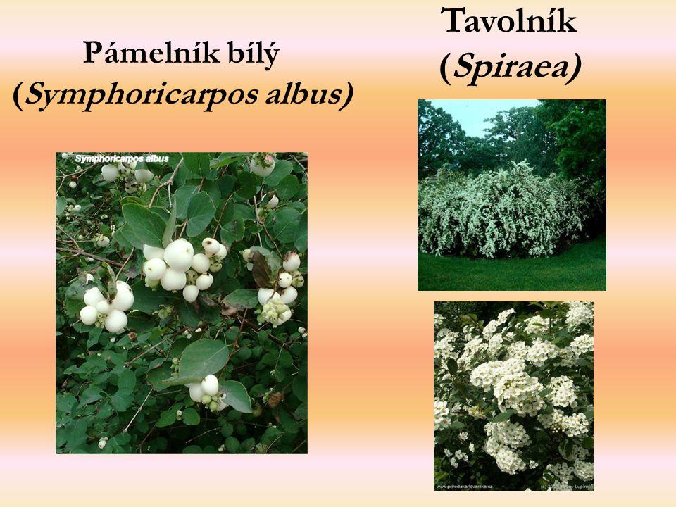 Pámelník bílý (Symphoricarpos albus) Tavolník (Spiraea)