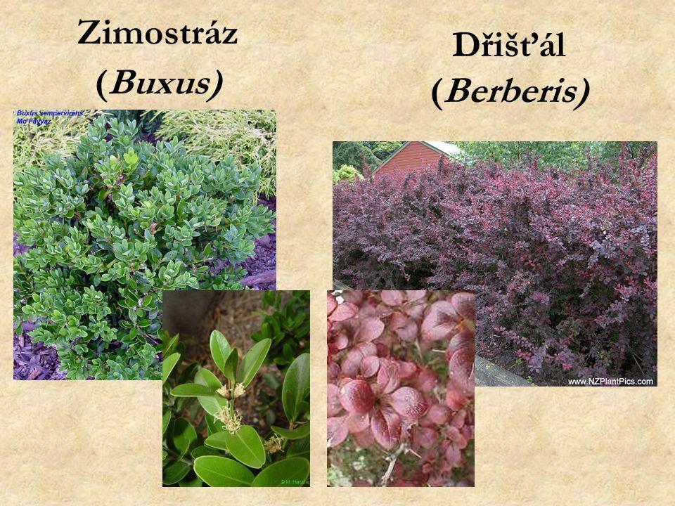 Zimostráz (Buxus) Dřišťál (Berberis)