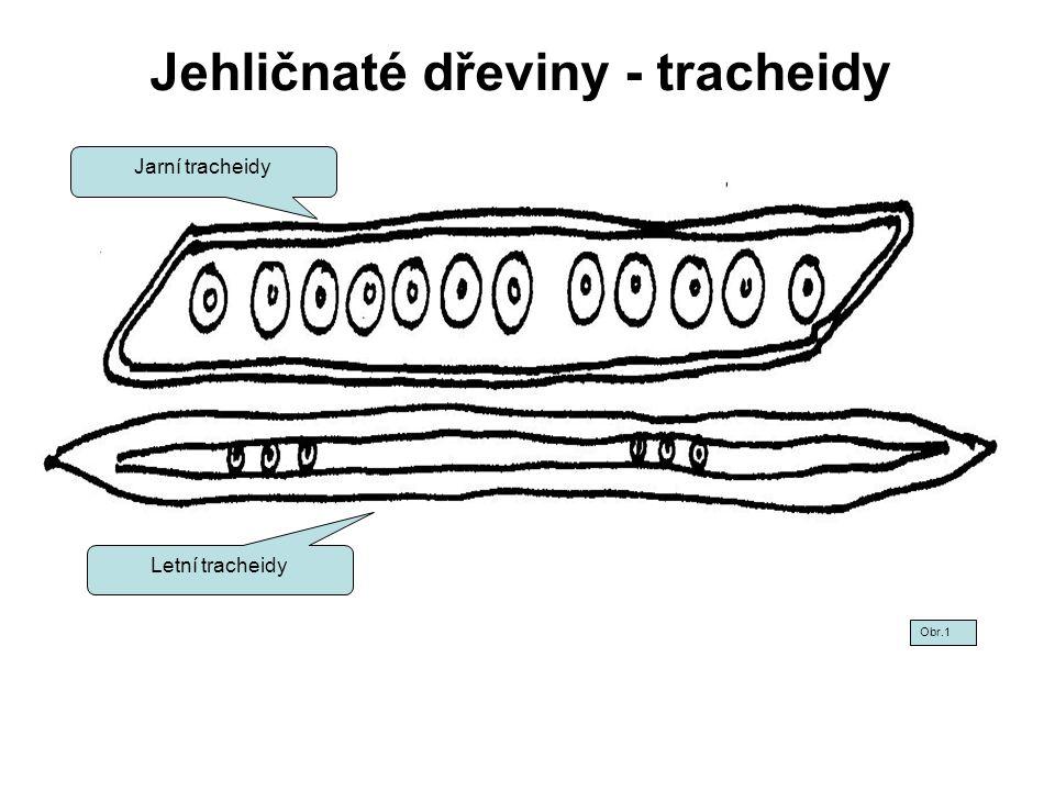 Jehličnaté dřeviny - tracheidy II Jarní tracheidy - světlejší Letní tracheidy - tmavší Obr.2