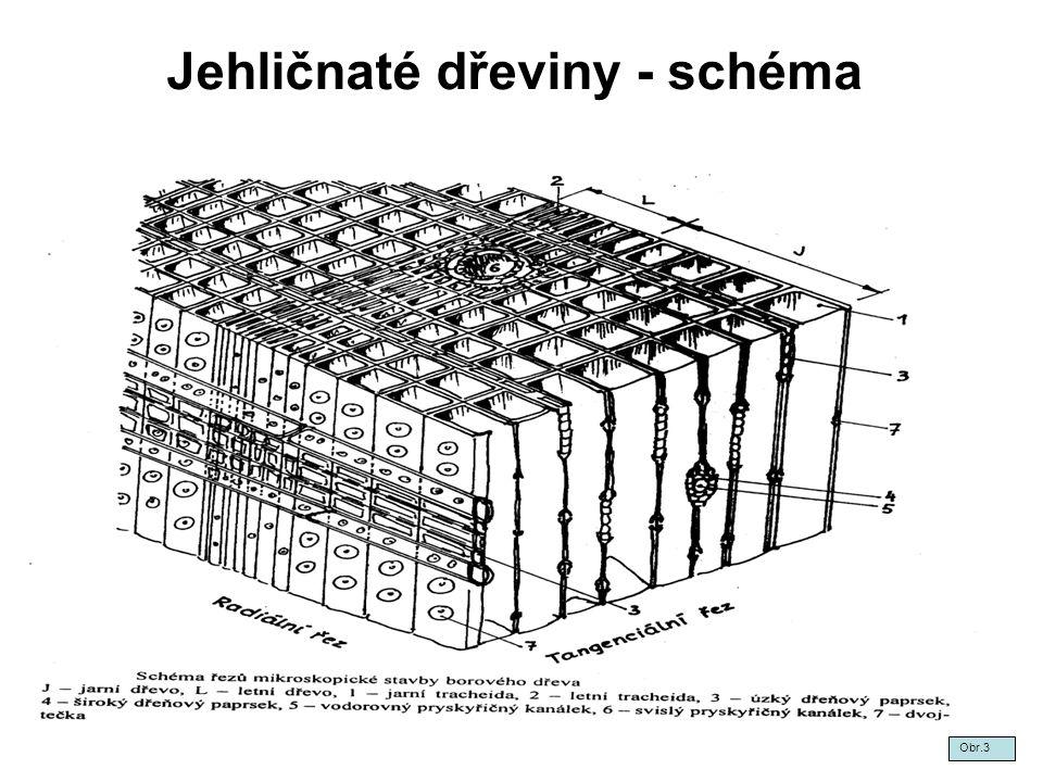 Jehličnaté dřeviny - schéma Obr.3