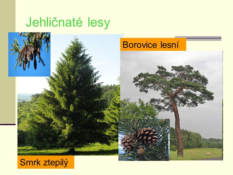 Jehličnaté lesy Smrk ztepilý Borovice lesní