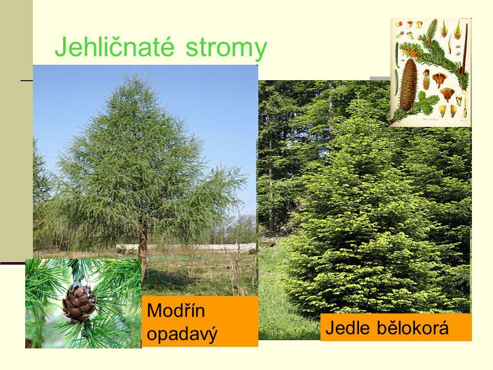 Jehličnaté stromy Jedle bělokorá Modřín opadavý