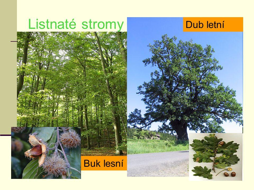 Listnaté stromy Buk lesní Dub letní