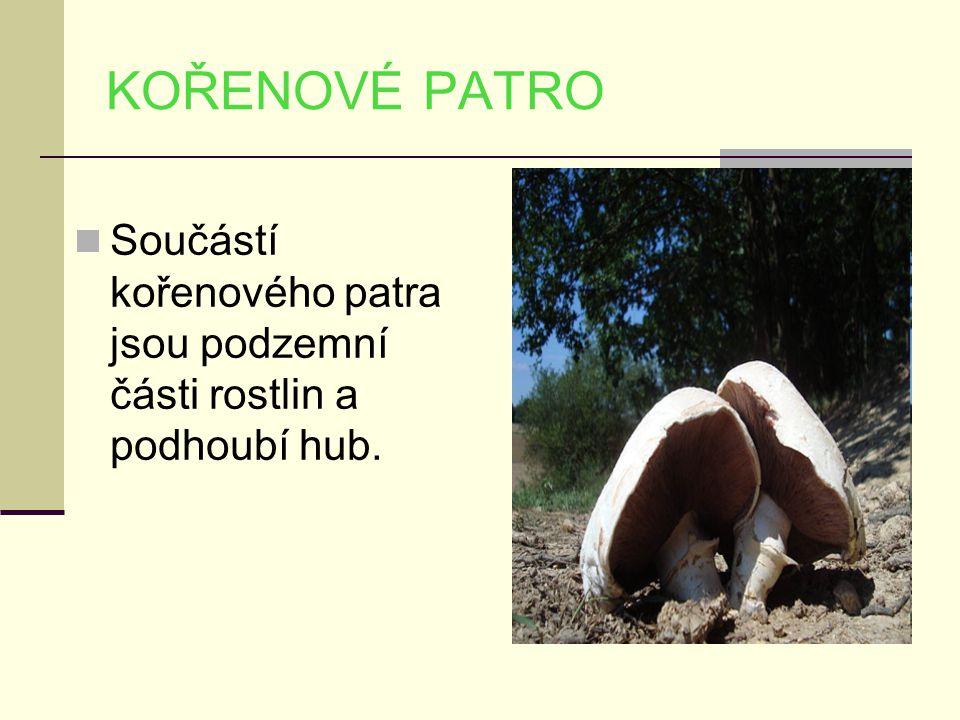 KOŘENOVÉ PATRO Součástí kořenového patra jsou podzemní části rostlin a podhoubí hub.