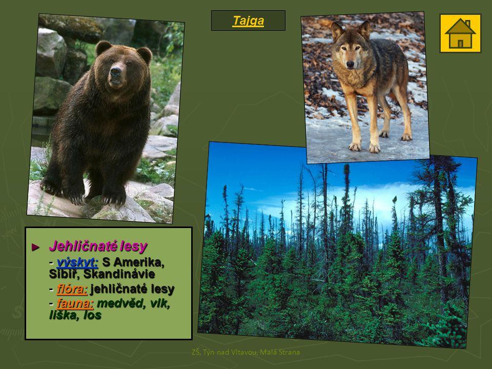 Tajga ZŠ, Týn nad Vltavou, Malá Strana ► Jehličnaté lesy - výskyt: S Amerika, Sibiř, Skandinávie - flóra: jehličnaté lesy - fauna: medvěd, vlk, liška,