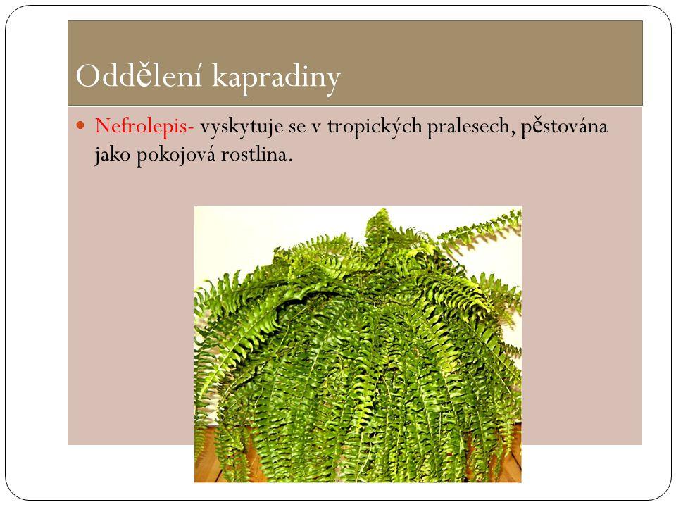 Odd ě lení kapradiny Nefrolepis- vyskytuje se v tropických pralesech, p ě stována jako pokojová rostlina.