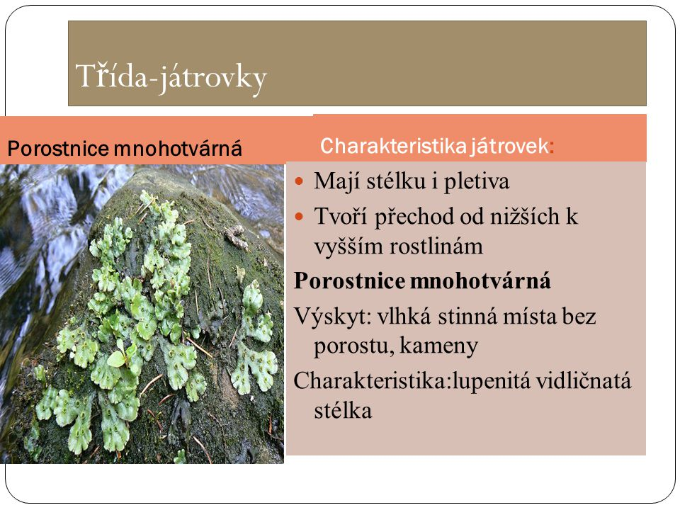 T ř ída-játrovky Porostnice mnohotvárná Charakteristika játrovek: Mají stélku i pletiva Tvoří přechod od nižších k vyšším rostlinám Porostnice mnohotv