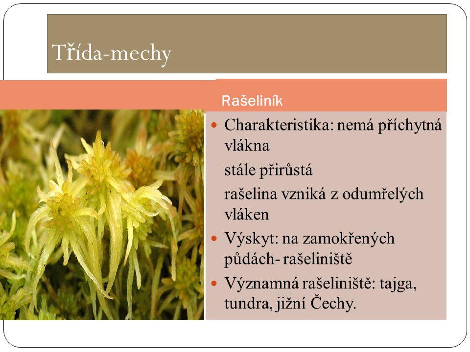 T ř ída-mechy Rašeliník Charakteristika: nemá příchytná vlákna stále přirůstá rašelina vzniká z odumřelých vláken Výskyt: na zamokřených půdách- rašel