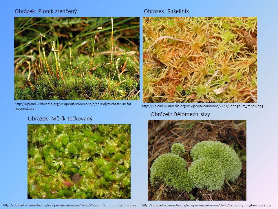 PLAVUNĚ  rostou na stinných místech v lesích (jehličnaté a bukové)  rozmnožují se výtrusy  v prvohorách ( asi před 300 mil.